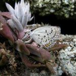 産卵にやってきたクロツバメシジミ ssp. shojii 福岡県築上郡上毛町西友枝大門 2009/09/19