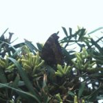 ヒオドシチョウ 福岡県福岡市早良区西油山 1997/06/03