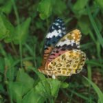 産卵するツマグロヒョウモン 佐賀県佐賀市富士町北山 1999/07