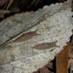 落ち葉の中で越冬するゴマダラチョウ幼虫 福岡県福岡市中央区赤坂 2006/01/01