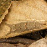 落ち葉の中で越冬するゴマダラチョウ幼虫 福岡県田川市伊田風治八幡 2007/02/21