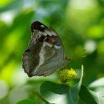 メスグロヒョウモン♀ 長崎県平戸市田平町たびら昆虫自然園 2008/07/10