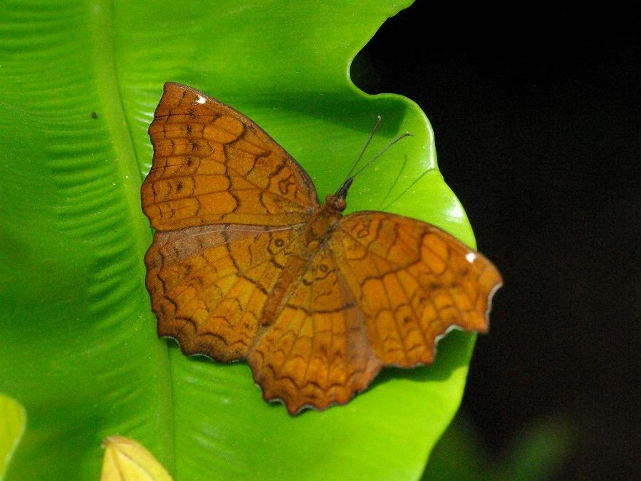 カバタテハ 兵庫県伊丹市伊丹市昆虫館 2009/03/14