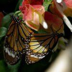 スジグロカバマダラ 兵庫県伊丹市伊丹市昆虫館 2009/03/14