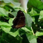 リュウキュウムラサキ 兵庫県伊丹市伊丹市昆虫館 2009/03/14