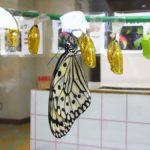 オオゴマダラ 兵庫県伊丹市伊丹市昆虫館 2009/03/14