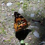 ヒメアカタテハ 福岡県福岡市中央区赤坂赤坂公園 2009/06/11