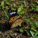 産卵するツマグロヒョウモン 福岡県福岡市中央区赤坂赤坂公園 2009/10/11