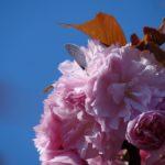 ルリシジミ 福岡県福岡市中央区舞鶴公園 2012/04/15