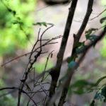 シータテハ 福岡県八女市 2013/08/01