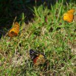 求愛するツマグロヒョウモン 福岡県福岡市中央区舞鶴公園 2013/10/07
