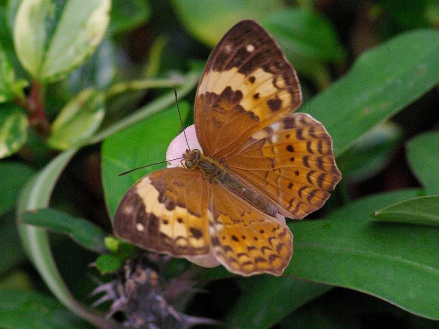 タイワンキマダラ 兵庫県伊丹市伊丹市昆虫館 2009/03/14