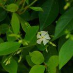 テイカカズラの咲き始め